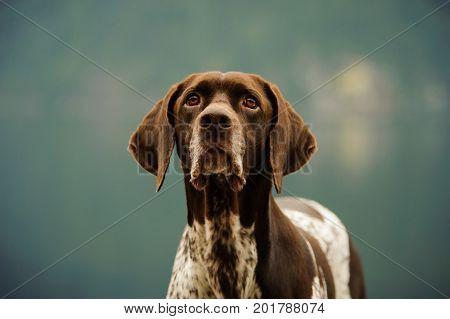 Close up German Shorthair Pointer dog portrait