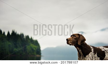 German Shorthair Pointer dog against mountain lake and forest