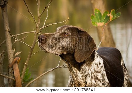 German Shorthaired Pointer dog portrait by pond and trees