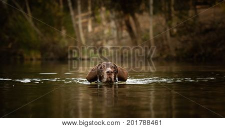 German Shorthaired Pointer dog swimming in water