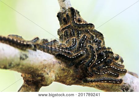 A group of forest tent caterpillars clustered together on a branch.