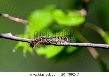 A macro shot of a forest tent caterpillar with leaves in the background appearing to look like a frog.