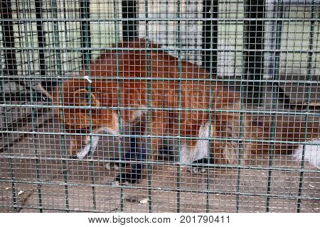 Red Fox In Cage. Symbol Of Captivity, Loss Of Freedom