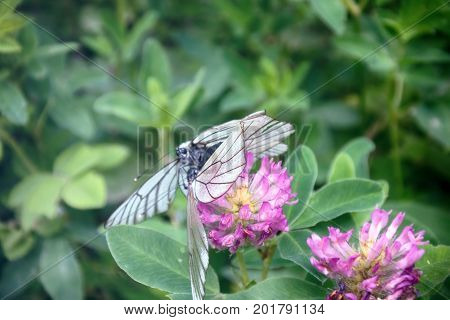 Copulation Butterfly - Black-veined White