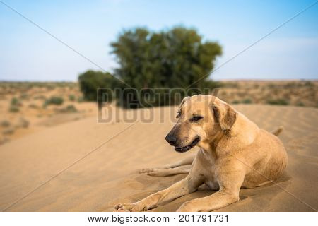 Close up picture of wild dog posing in Thar Desert located close to Jaisalmer the Golden City in India.