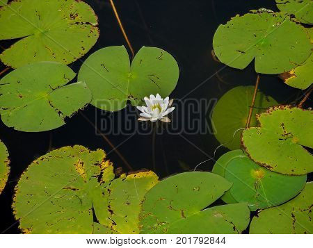 White lotus flower and lily pads on a lake