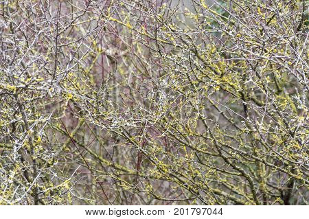 natural abstract background with twigs and lichen