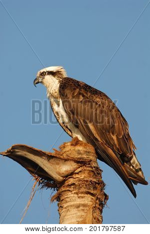 An osprey perched on a worn down palm tree in southern Florida.