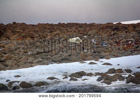Male Polar Bear Lying On Belly Like Man