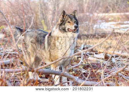The East Siberian Laika (related Breed Husky). Hunting Scene