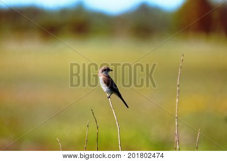 Red-backed Shrike (lanius Collurio, Juv)