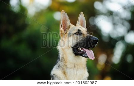German Shepherd dog portrait with tress in background