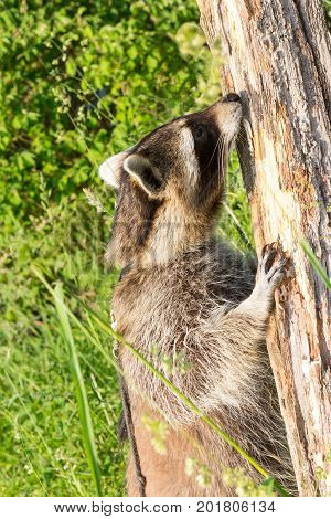 A Racoon Snuffling At A Tree.