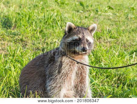 A Tame Racoon Sitting On A Meadow.