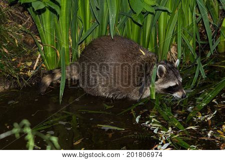 A Racoon In The Water Is Looking For Food.