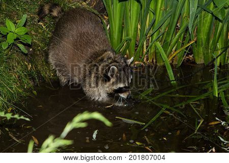 A Racoon Is Fishing In The Water.