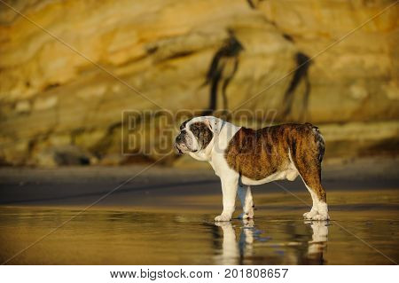 English Bulldog standing on wet sand beach with bluffs