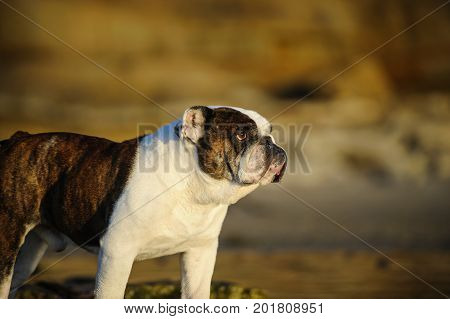 English Bulldog portrait at beach with bluffs