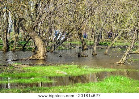 Spring flooded trees with blossoming buds in the Kolomenskoye museum-reserve