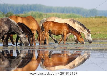 Herd of horses is drinking water on watering place