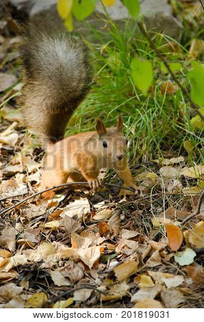 Redhead little squirrel with a bushy tail on the fallen leaves in the forest