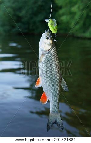 Small chub caught on plastic lure