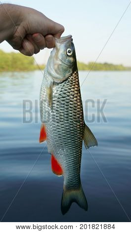 Big chub in fisherman's hand against river shore against water surface