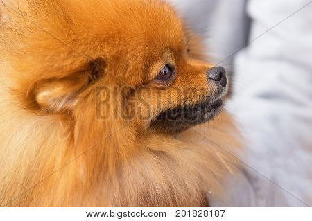 Spitz is a decorative breed of dogs. Runs on the green grass, well lit by the sun. Space under the text. 2018 year of the dog in the eastern calendar Concept: parodist dogs, dog friend of man, true friends, rescuers.
