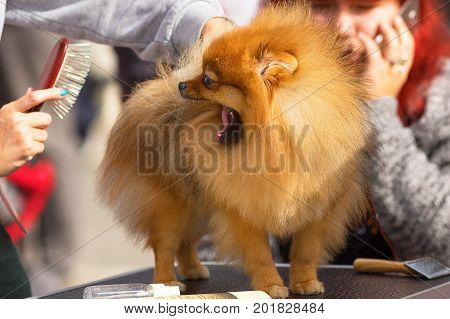 The dog of the Spitz breed is combed before the show, the animal is trying to bite the comb. Dog show. 2018 year of the dog in the eastern calendar Concept: parodist dogs, dog friend of man, true friends, rescuers.