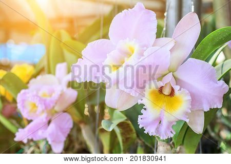 Orchid flower in the garden at winter or spring day for postcard beauty agriculture idea concept design. Cattleya orchid is a genus in the orchid family (Orchidaceae)