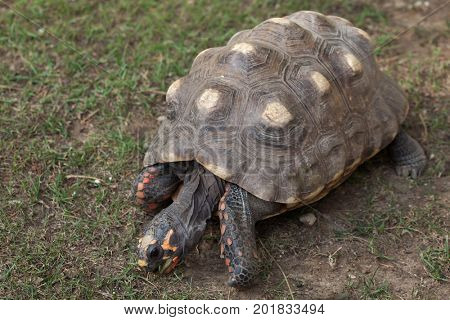 Red-footed tortoise (Chelonoidis carbonaria). Wildlife animal.