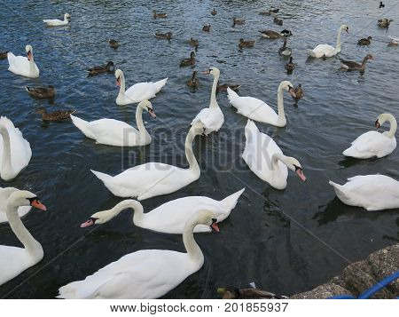 Mute Swans Waiting For Food