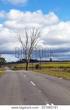 Rural Empty Asphalt Road Running Through Sugar Cane Fields