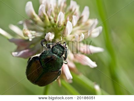 Macro of Japanese Beetle on clover blossom. poster