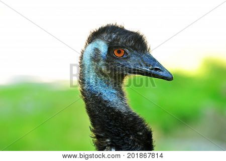 Close Up of an Emu Head with a Green Grassy Background