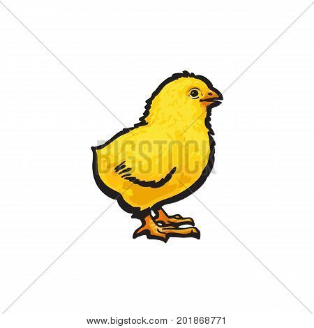 vector cartoon hand drawn sketch yellow color small chick. Isolated illustration on a white background. Farm poultry chicken