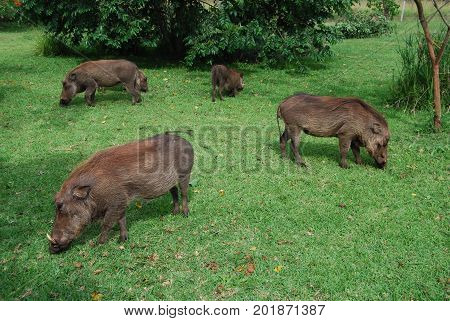 Warthog family on green lawn looking for scraps