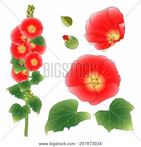 Alcea Rosea - hollyhocks, Aoi in the mallow family Malvaceae. Orange Red Flower Color. isolated on White Background. Vector Illustration.