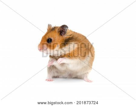 Cute Syrian hamster sitting on its hind legs and looking sideward with attention (isolated on white)