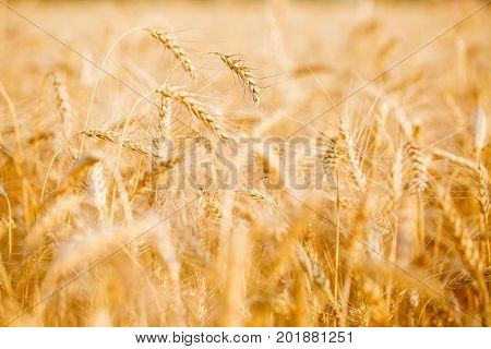 Picture of wheat field in summer afternoon, defocused background