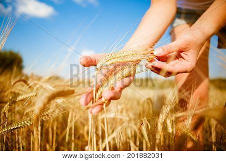 Vintage image of rye in hands on autumn field in the afternoon