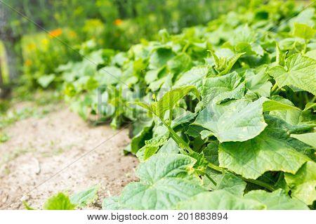 Cucumbers Bushes Growing In Vegetable Garden