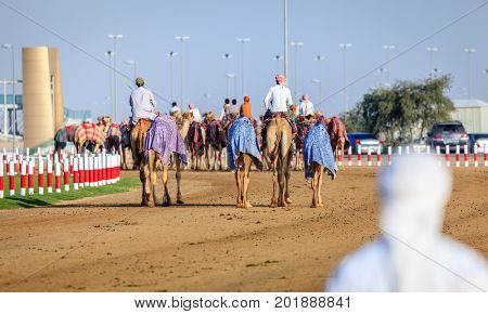 Dubai, United Arab Emirates - March 25, 2016: Camel handlers are taking the animals for the race practice at Dubai Camel Racing Club