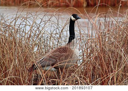A Canada Goose Standing Amongst The Dry Reeds