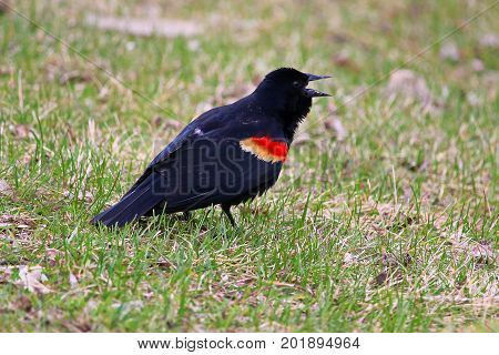 A Red Winged Blackbird Calling On The Grass