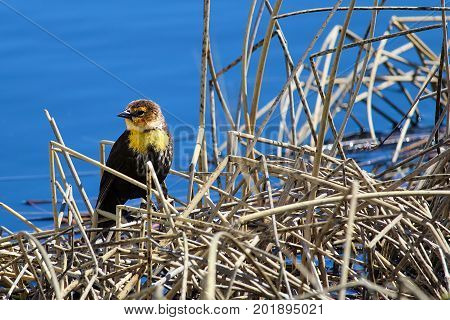 A Female Yellow Headed Blackbird Sitting On Some Reeds