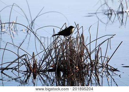 A Silhouette Of A Female Yellow Headed Blackbird In The Morning