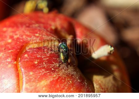 Common House Fly Sitting on a Red Apple.