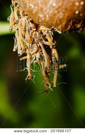 Baby praying mantis being born from an ootheca