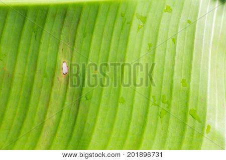Close up banana leaf pattern for use as background